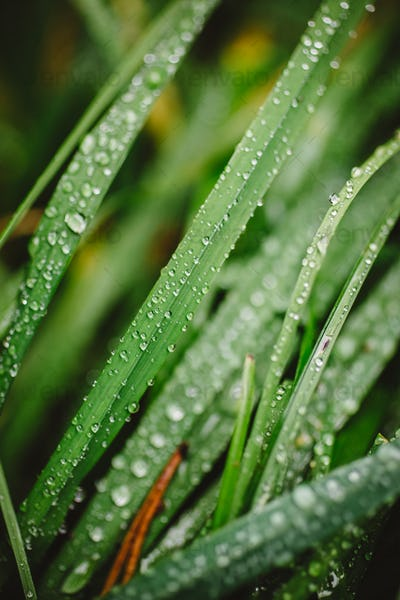 Fresh thick grass with dew drops