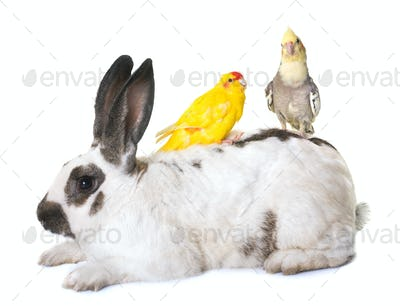Checkered Giant rabbit and parakeet