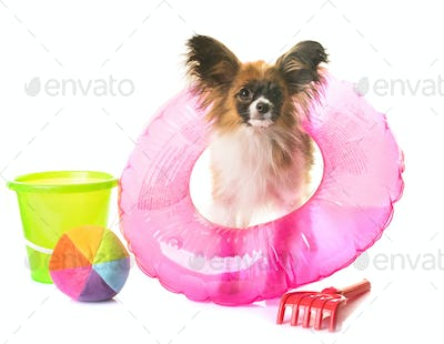 puppy papillon dog in holidays