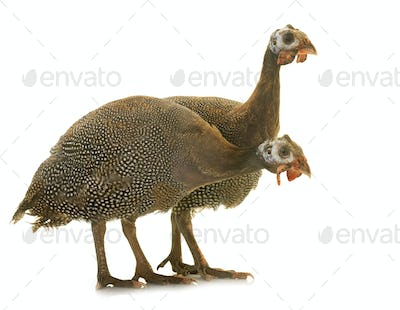 young Guineafowls