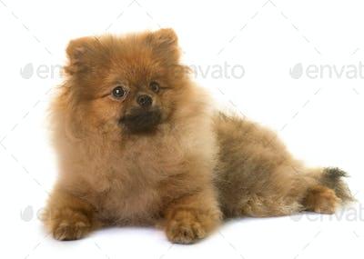 pomeranian dog in studio