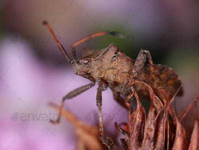 Dock bug in decayed flower