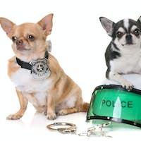 police dog chihuahuas
