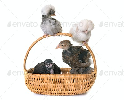chicks in basket