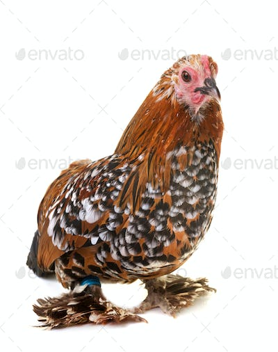 Dutch Booted Bantam