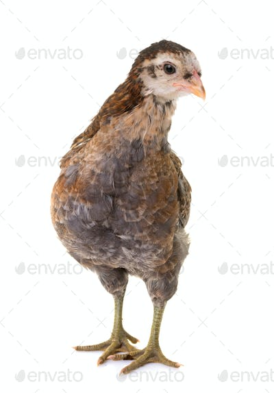chick araucana in studio