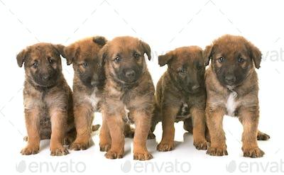 puppies belgian shepherd dog laekenois