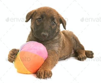 puppy belgian shepherd dog laekenois