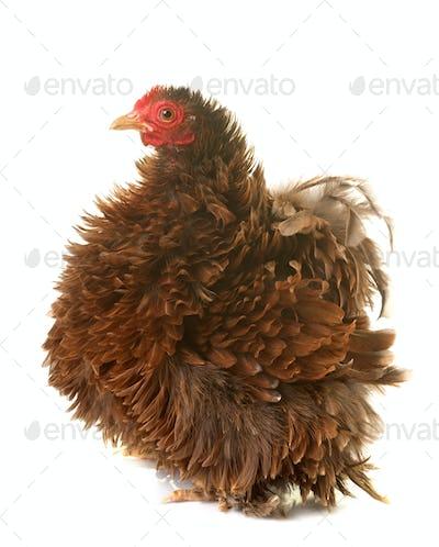 pekin chicken in studio