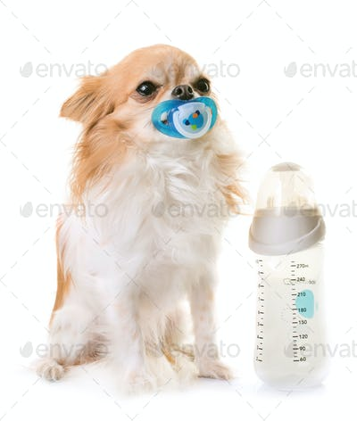 chihuahua and feeding bottle