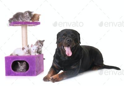kitten and rottweiler