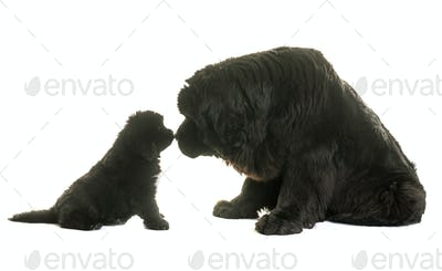 puppy and adult newfoundland dog
