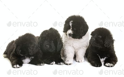 puppies newfoundland dog