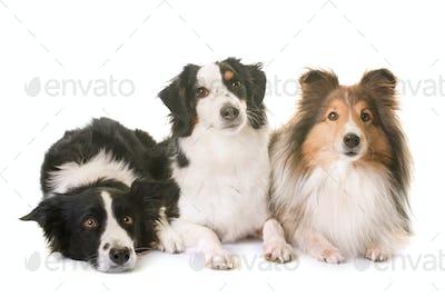 three dogs in studio