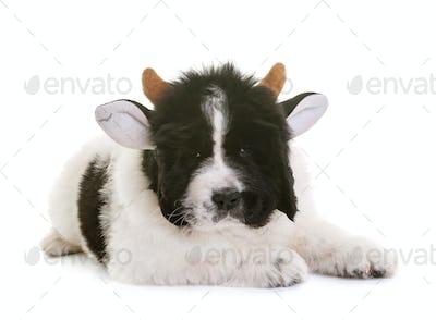 puppy newfoundland dog cow