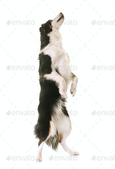 miniature american shepherd standing up