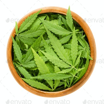 Cannabis fan leaves in wooden bowl over white
