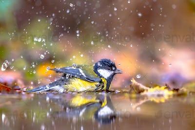 Garden bird Great tit bathing
