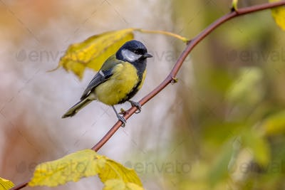 Garden bird Great tit with yellow autumn leaves