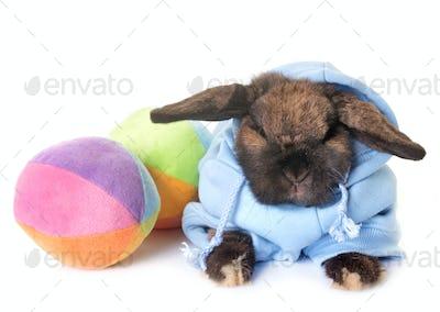 dressed Dwarf lop-eared rabbit