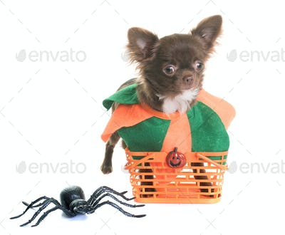 puppy chihuahua and halloween