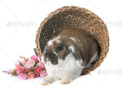 Dwarf lop-eared rabbit