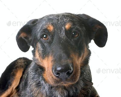 beauceron dog in studio