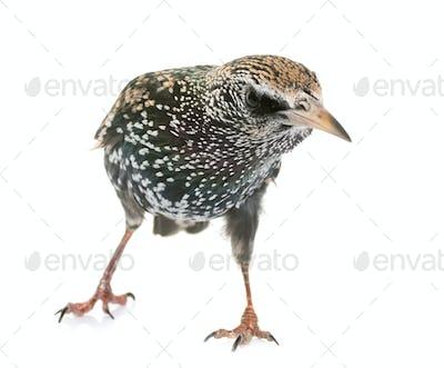 Common starling in studio