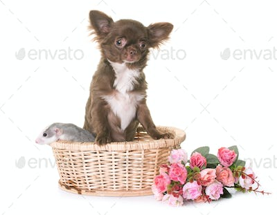 puppy chihuahua and rat