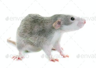 young rat bicolor