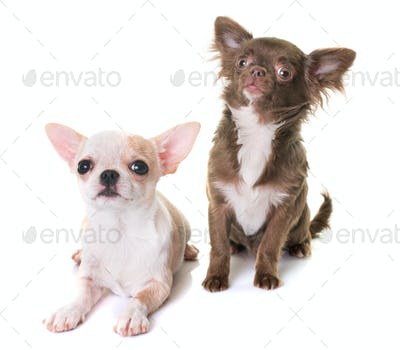 puppies chihuahua in studio