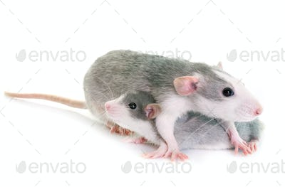 young rats bicolor