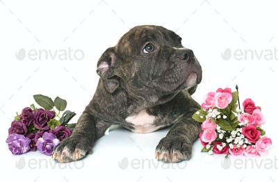 puppy american staffordshire terrier