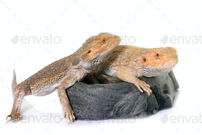 bearded dragons in studio