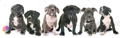 puppies american staffordshire terrier
