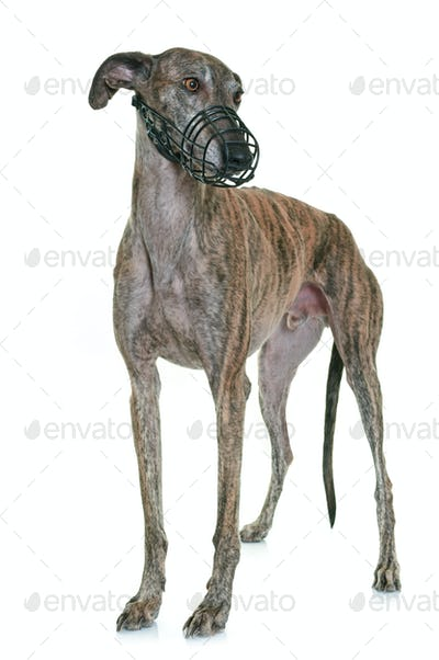 galgo espanol and muzzle