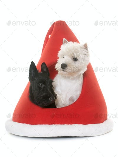 two puppies terrier in kennel