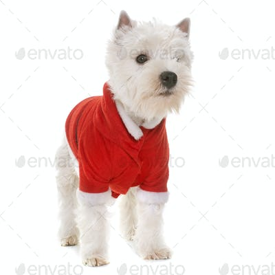 dressed puppy west highland white terrier