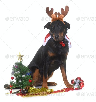 young beauceron and christmas