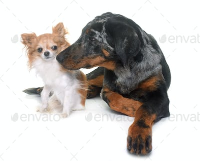 young beauceron and chihuahua