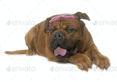 dogue de Bordeaux and glasses