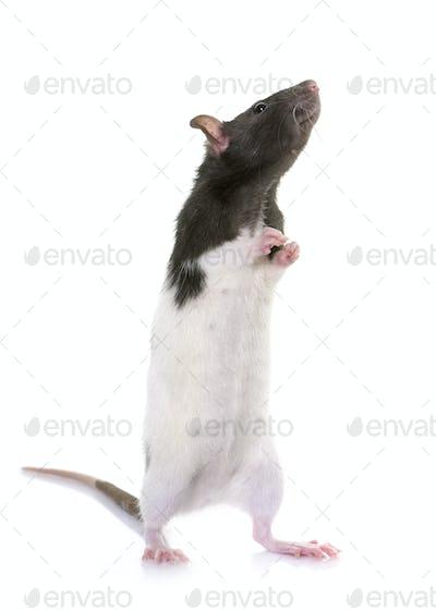 domestic rat in studio