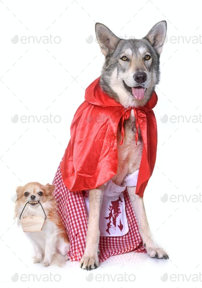 dressed Saarloos wolfdog and chihuahua
