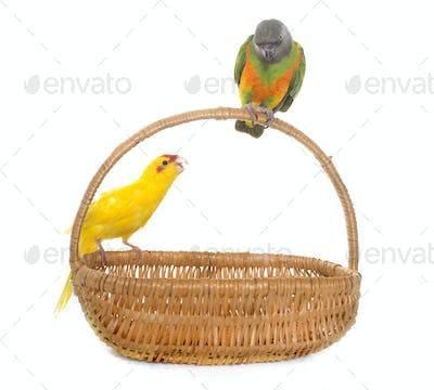 senegal parrot and kakariki in studio