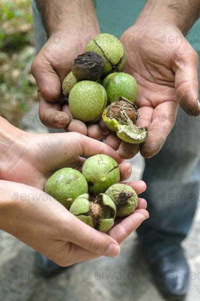 Green unpeeled walnuts in the hands of farmers side view