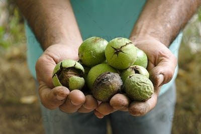 Uncleaned green walnuts in the hands of a farmer