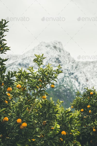 Orange trees with oranges in mountain garden, Dim Cay, Alanya