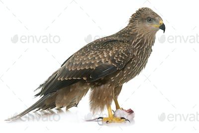 Common buzzard in studio