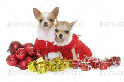 puppies chihuahua and christmas
