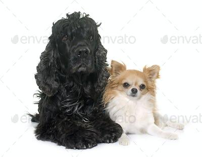 black american cocker and chihuahua